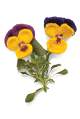 Pansy Knitted Flower